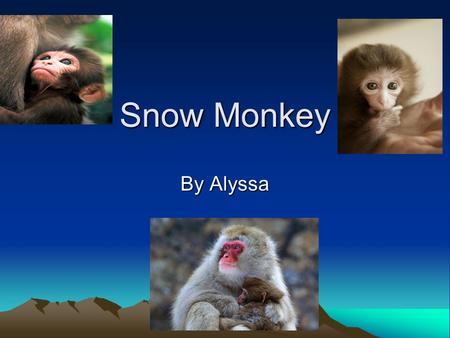 Snow Monkey By Alyssa A Snow Monkey has a good coat of fur because they live in cold weather.