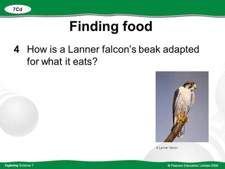 Finding food 4 How is a Lanner falcon's beak adapted for what it eats?