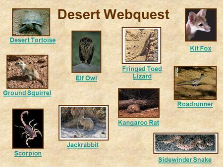 Desert Webquest Desert Tortoise Elf Owl Fringed Toed Lizard Ground Squirrel Jackrabbit Kangaroo Rat Kit Fox Roadrunner Scorpion Sidewinder Snake.