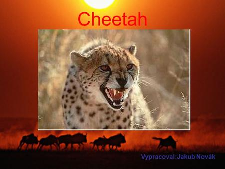 Cheetah Vypracoval:Jakub Novák. A cheetah is a feline. He run at 100km/h and he lives in Afrika. The cheetah has got a long legs and tail. The cheetah.