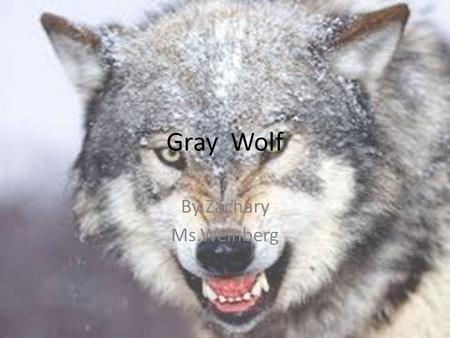 Gray Wolf By Zachary Ms.Weinberg. Gray Wolf Why I Chose My Animal? I chose my animal because it.
