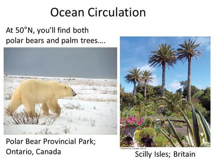Ocean Circulation At 50°N, you'll find both polar bears and palm trees…. Polar Bear Provincial Park; Ontario, Canada Scilly Isles; Britain.