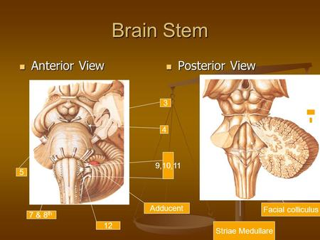 Brain Stem Anterior View Posterior View 3 4 9,10,11 5 Adducent