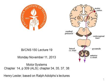 1 Bi/CNS 150 Lecture 19 Monday November 11, 2013 Motor Systems Chapter 14, p 309 (ALS); chapter 34, 35, 37, 38 Henry Lester, based on Ralph Adolphs's lectures.