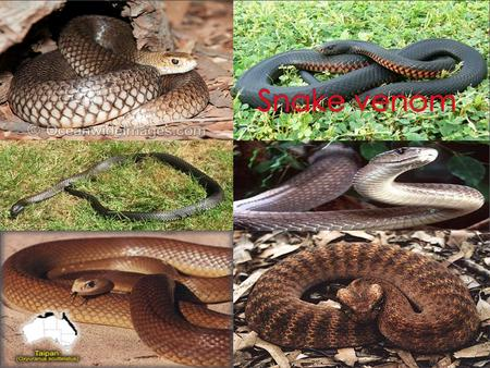  Brown snake venom contains potent toxins in venom that cause paralysis or muscle weakness. Also present are postsynaptic neurotoxins, which are less.