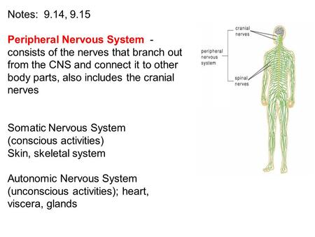 Notes: 9.14, 9.15 Peripheral Nervous System - consists of the nerves that branch out from the CNS and connect it to other body parts, also includes the.