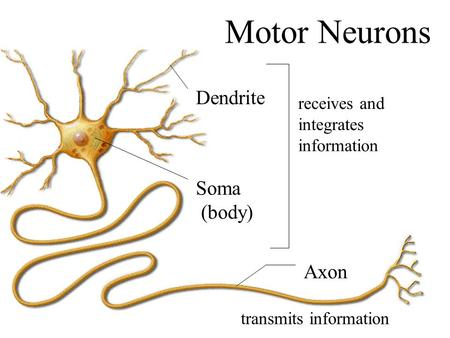 Dendrite Soma (body) Axon receives and integrates information Motor Neurons transmits information.