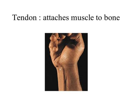 Tendon : attaches muscle to bone. Fascia : encloses muscles and separates them into groups.
