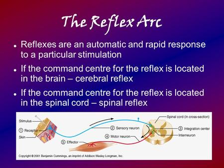 The Reflex Arc Reflexes are an automatic and rapid response to a particular stimulation If the command centre for the reflex is located in the brain.