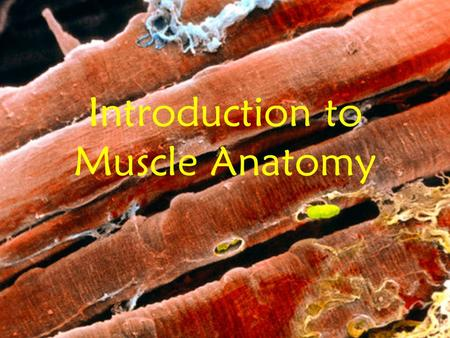 Introduction to Muscle Anatomy. Types of Muscle 1. Skeletal –Elongated Cells –Multi nucleated –Striated – striped appearance –Voluntary –Produces powerful.