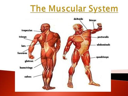 The Muscular System.