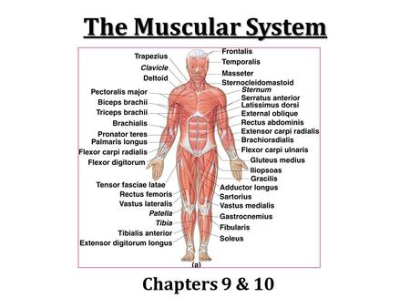 The Muscular System Chapters 9 & 10.
