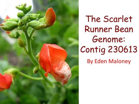 The Scarlet Runner Bean Genome: Contig 230613 By Eden Maloney.