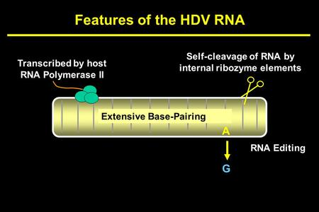 Features of the HDV RNA Extensive Base-Pairing Transcribed by host RNA Polymerase II Self-cleavage of RNA by internal ribozyme elements A G RNA Editing.