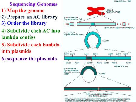 Sequencing Genomes 1) Map the genome 2) Prepare an AC library 3) Order the library 4) Subdivide each AC into lambda contigs 5) Subdivide each lambda into.