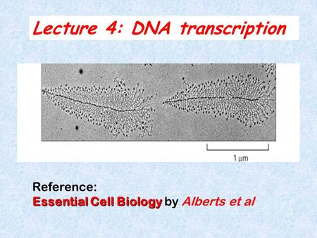 Lecture 4: DNA transcription