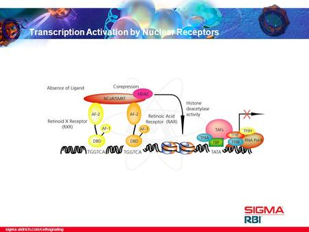 Sigma-aldrich.com/cellsignaling Transcription Activation by Nuclear Receptors.