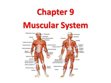 Chapter 9 Muscular System. Functions of a Muscle Tissue 1.Movement: 1.Skeletal 1.Skeletal - locomotion, vision, facial expression. 2.Cardiac 2.Cardiac.
