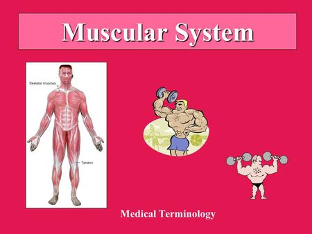 Muscular System Medical Terminology. Anatomy of Muscle Types: –Skeletal (striated; voluntary) –Smooth (non-striated; involuntary) –Cardiac Attachments: