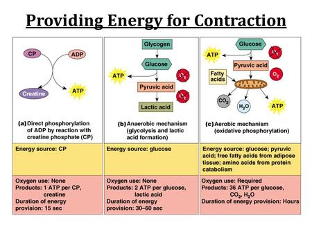 Providing Energy for Contraction. Aerobic v. Anaerobic Respiration.