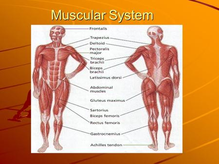Muscular System. Functions of the muscular system Voluntary movement Involuntary movement Protection of internal organs.