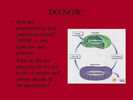 DO NOW How are photosynthesis and respiration related? THINK --- raw materials and products. What do the two processes do for the levels of oxygen and.