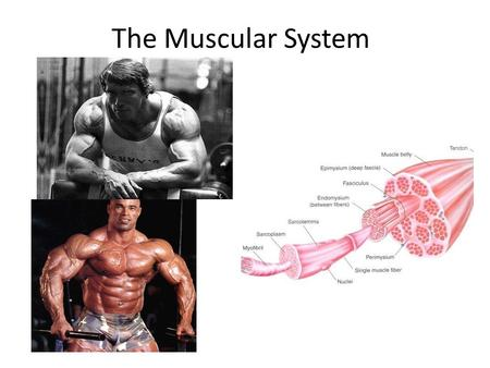 The Muscular System. 3 Types of Muscles A Muscle is Composed of a Variety Of Tissues.