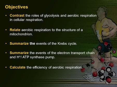 Objectives Contrast the roles of glycolysis and aerobic respiration in cellular respiration. Relate aerobic respiration to the structure of a mitochondrion.