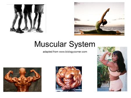 Muscular System adapted from www.biologycorner.com.