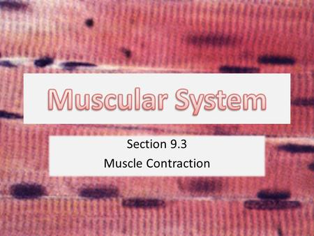 Section 9.3 Muscle Contraction. Neuromuscular Junction.