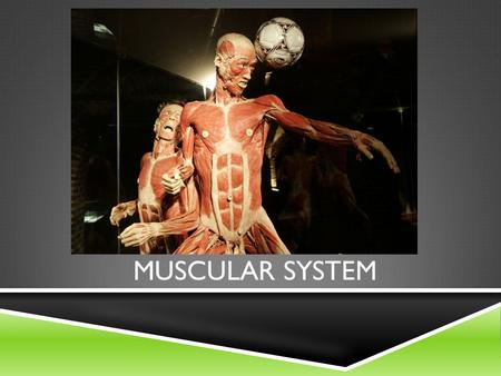 MUSCULAR SYSTEM. CHARACTERISTICS OF MUSCLE TISSUE  Irritability  Ability to respond to a stimulus (either external or internal)  Stimulation produces.