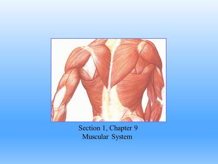 "Section 1, Chapter 9 Muscular System. Muscle is derived from Musculus, for ""Mouse"" Functions of Muscles: 1.Body movement 2.Maintain posture 3.Produces."