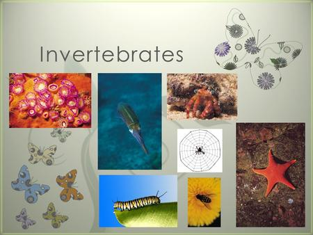 "7 Invertebrates. The first family we will look at is called ""Porifera."" (pronounced: por-if-ur-u)"