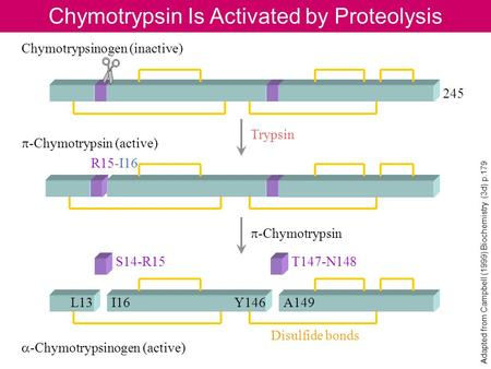 Chymotrypsin Is Activated by Proteolysis Adapted from Campbell (1999) Biochemistry (3d) p.179 245 R15-I16 Chymotrypsinogen (inactive) p -Chymotrypsin (active)