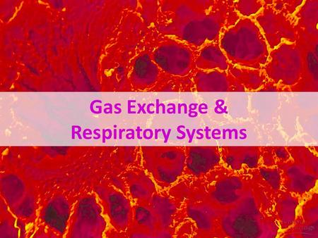 Gas Exchange & Respiratory Systems Why do we need a respiratory system? O2O2 food ATP CO 2 respiration for respiration Need O 2 in –for aerobic cellular.