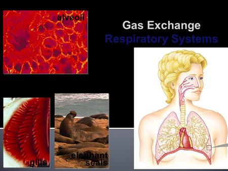 2008-2009 gills alveoli elephant seals Gas Exchange Respiratory Systems.