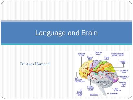 Dr Ansa Hameed Language and Brain. Today's Lecture  Language and Brain  The structure of the brain  Brain Areas Involved in Language  Language Disorders.