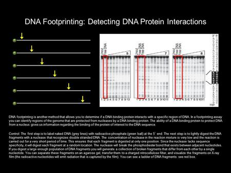 DNA Footprinting: Detecting DNA Protein Interactions DNA footprinting is another method that allows you to determine if a DNA binding protein interacts.