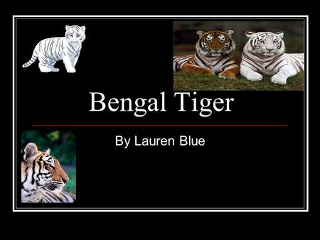 Bengal Tiger By Lauren Blue. History The Bengal Tiger was first discovered in the Bengal region of India. The first White Bengal Tiger wasn't found until.