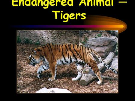 Endangered Animal ─ Tigers