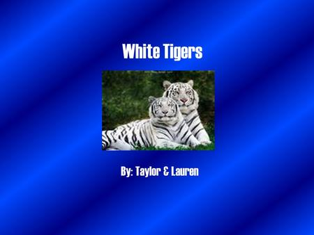White Tigers By: Taylor & Lauren. Territorial Habitat White tigers usually live alone, except mothers and cubs. Occasionally white tigers will travel.