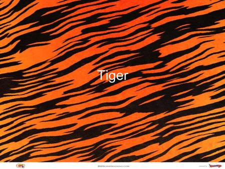 Tiger. Classification Kingdom: Animalia Phylum: Chordata Class: Mammalia Order: Carnivora Family: Felidae Genus: Pantherna Spicies: Tigris Sad Fact: The.