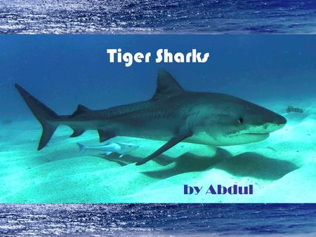 Tiger Sharks by Abdul.
