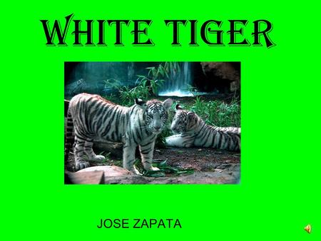 White Tiger JOSE ZAPATA Physical Description The white tiger have blue eyes which means they are not albinos. Their noses are pink. They have creamy.