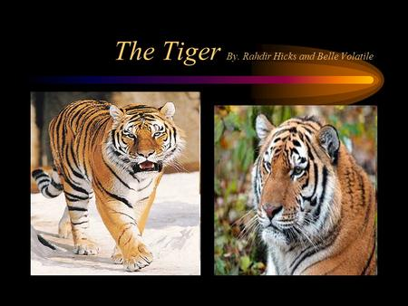 The Tiger By. Rahdir Hicks and Belle Volatile Habitat Tigers walk along the mountains The tigers habitat is mostly in Asia Tigers habitats have also.