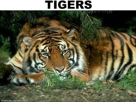 TIGERS. TiGerS in general Size: LENGTH: 2,7-3,1 m with tail. HEIGHT : About 94 cm. WEIGHT : 200-350 kg Breeding: PUBERTY:3-4 years SEXUALLY ACTIVE PERIOD: