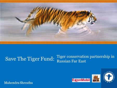 Save The Tiger Fund: Tiger conservation partnership in Russian Far East Mahendra Shrestha.