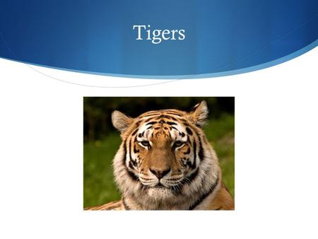 Tigers. Inherited Traits The tiger's fur keeps it warm during the winter so it can go hunting It's stripes makes a camouflage in the dead grass.