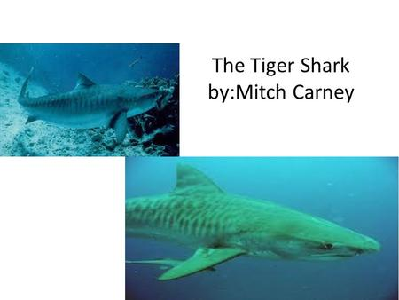 The Tiger Shark by:Mitch Carney. Appearance Tiger sharks are named for the dark stripes that young tiger sharks have Strips disappear over time can grow.