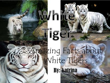 Amazing Facts about White Tigers By: katrina. Name of Animal: White Tiger. Phylum: Chordata Class: Mammal Order: Carnivora Family: Felidae Genus: Panthera.
